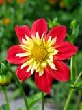 Bright red and yellow anemone-flowering dahlia Stock Photo