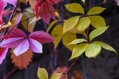 Bright red autumn leaves of wild grapes Stock Photography