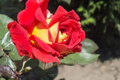 Bright Red and Yellow Bicolor Rose Royalty Free Stock Photo