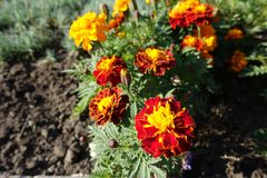 Bright red and yellow flowerheads of Tagetes patula. Bright red and yellow flower heads of Tagetes patula stock photo