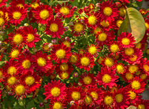 Bright red yellow flowers bunch in pattern. Royalty Free Stock Image
