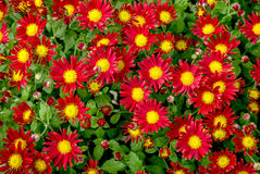 Bright red yellow flowers bunch in pattern. Royalty Free Stock Photo