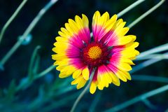 The bright red and yellow flowers of Gaillardia pulchella `Picta. ` also known as Blanket Flower Stock Photo