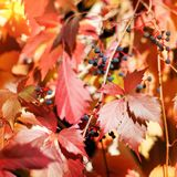 Bright red and yellow grape leaves on white wooden lattice grid fence, autumn golden climber plant foliage, fall sunny day nature. Image, Parthenocissus or stock images