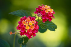Bright red and yellow Lantana flowers Stock Image