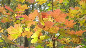 Bright red and yellow leaves of a tree a maple in sunny autumn day.  stock video footage