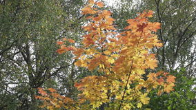 Bright red and yellow leaves of a tree a maple in sunny autumn day.  stock footage