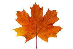 Bright red yellow maple leaf. On white background royalty free stock images