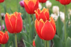 Bright red and yellow spring tulips on a colorful background. royalty free stock images