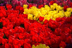 Bright, red and yellow spring tulips of Holland. Spring flowering of tulips, hundreds of bright colors on flowers in the park. Kiev, Ukraine Stock Images