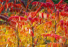 Bright Red and Yellow Sumac in Autumn. Autumn Sumac leaves both yellow and red Stock Image