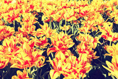 Bright red and yellow tulips Stock Photography