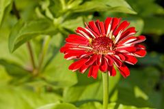 Bright Red Zinnia Royalty Free Stock Photo