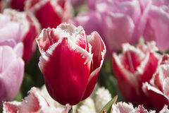 Bright Reddish Pink Tulips Royalty Free Stock Photography