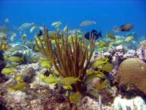 Bright reef scene. Snappers and Grunts shoal together for safety and protection in a popular spot early one morning among the colourful corals of the reef Royalty Free Stock Image