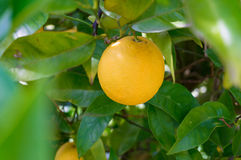 Bright ripe orange, lemon on tree surrounded by green leaves Royalty Free Stock Photo