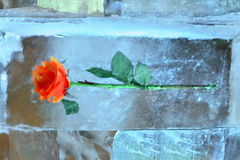 Bright rose in icy composition on Christmas Royalty Free Stock Photo