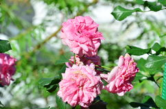 Bright rose in the sun. On a background of emerald green Stock Photography