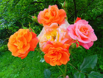 Bright roses in the flower garden. Royalty Free Stock Photo