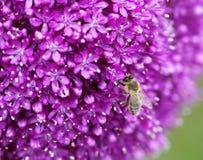 The bright round alium flower macro shot Stock Images