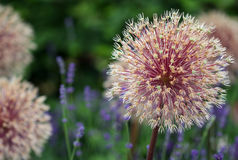 The bright round alium flower macro shot. The bright purple round alium flower macro shot Royalty Free Stock Images