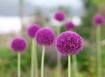 The bright round alium flower macro shot. The bright purple round alium flower macro shot Stock Images