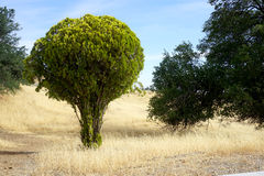 Bright Round Tree. A bright and roundly shaped tree sits alone in a field of yellow grass Stock Image