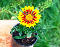 Bright round yellow flower in the pot Stock Photo