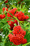 Bright rowan berries Stock Photos