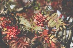 Bright rowan berries.Autumn. Fall scene. Beauty nature scene tre Royalty Free Stock Images