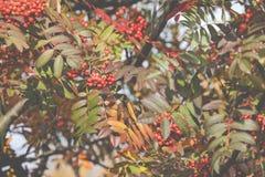 Bright rowan berries.Autumn. Fall scene. Beauty nature scene tre Royalty Free Stock Photography