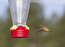 Bright Rufous Hummingbird Flying To Feeder Royalty Free Stock Photo