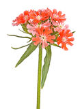 Bright salmon-colored flowers of Maltese cross isolated against. Multiple salmon-colored flowers Maltese cross or rose campion Lychnis chalcedonica cultivar Stock Images