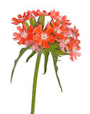 Bright salmon-colored flowers of Maltese cross isolated against. Multiple salmon-colored flowers Maltese cross or rose campion Lychnis chalcedonica cultivar Stock Photo
