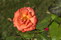 Bright salmon colored rose Royalty Free Stock Photography
