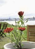 Bright Scarlet Daisies in a Flower pot Stock Photography