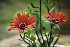 Bright Scarlet Daisies in a Flower pot Stock Image