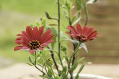 Bright Scarlet Daisies in a Flower pot Royalty Free Stock Images