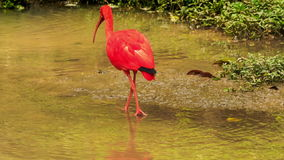 Bright Scarlet Ibis Walks in Shallow Water