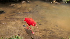 Bright Scarlet Ibis Walks in Shallow Water by Stones. Closeup brightly colored scarlet ibis walks in shallow lake water by stony green bank stock video footage