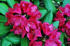 Bright scarlet rhododendron flowers, dark green blurry leaves background close up macro detail. Top view stock image