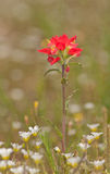 Bright scarlett red Indian Paintbrush, Castilleja. In spring with white wildflowers Royalty Free Stock Photography
