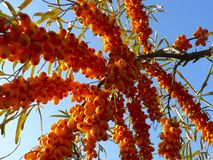 Bright sea buckthorn berries on a branch stock photography