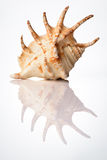 Bright sea shell Royalty Free Stock Image