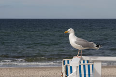 Bright Seagull sitting on a handrail with the Baltic Sea in the Royalty Free Stock Photos