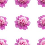 Bright  seamless pattern with pink peonies on a white background stock image