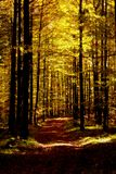 Bright shining sunbeams in beech forest in autumn Royalty Free Stock Image