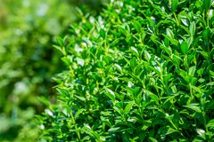 Bright shiny green foliage of boxwood Buxus sempervirens as the perfect backdrop for any natural theme