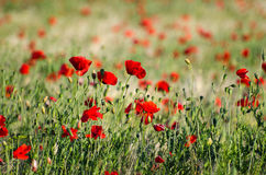 Bright shiny poppies Stock Photography