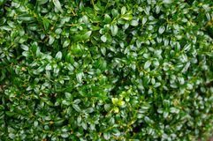 The bright shiny wet green foliage of boxwood Buxus sempervirens as the perfect backdrop for any natural theme. Boxwood wall in natural conditions. There is a stock photography